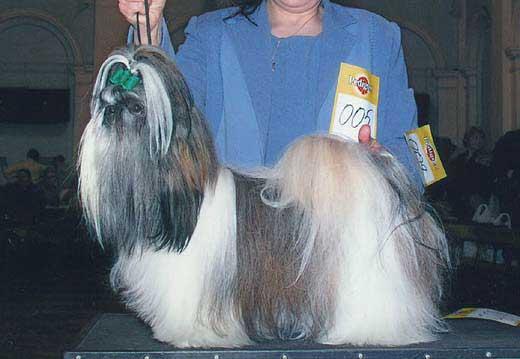 Ши тцу фото собак и фото щенков